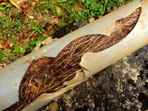 Sewer line split with roots